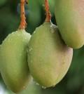 Mango111111