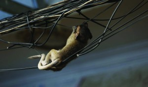 A baby monkey chews on electrical wires. KT/Siv Channa