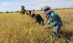 Farmers harvesting their paddy in Kampong Speu province. KT/Chor Sokunthea.