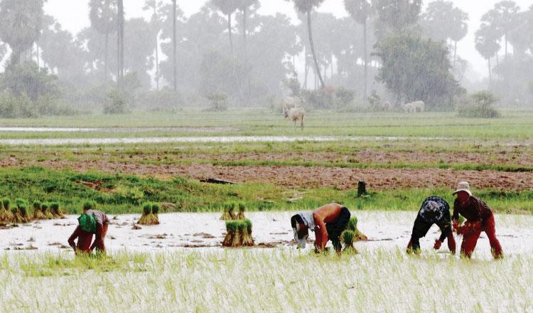 껌뽕스쁘지역 농민들이 폭우가 쏟아지는 가운데 농사일을 하고 있다. 수자원 기상부는 강풍과 낙뢰를 주의할 것을 당부했다.