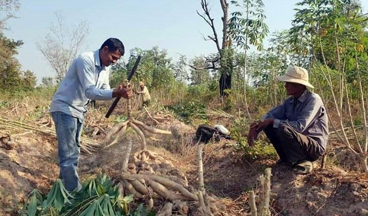 캄보디아에서 재배되는 카사바 작물.