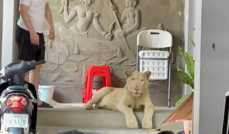 Pet-lion-confiscated-from-foreign-national-in-Phnom-Penh