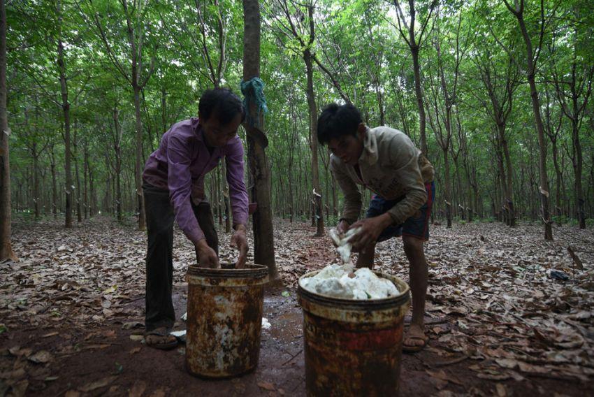 ▲ 캄보디아의 총 고무재배면적은 404,160헥타르로 이  중 약 72퍼센트인 292,500헥타르가 천연고무의 원료로 사용된다.