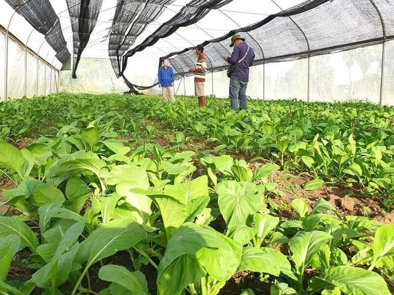 뜨봉크몸 지역에 비닐하우스 농법이 소개되어 우기철 채소 수확량이 늘어나고 있다