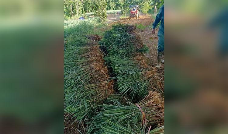 레몬그라스 오일 수요 증가가 캄보디아 농민들에게 기회를 창출하고 있다