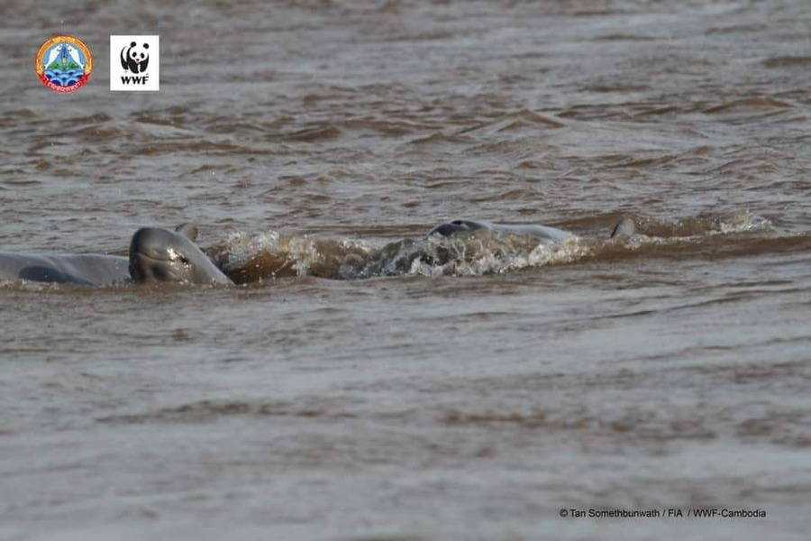 멸종위기에 놓인 메콩돌고래의 5번째 새끼가 태어났다