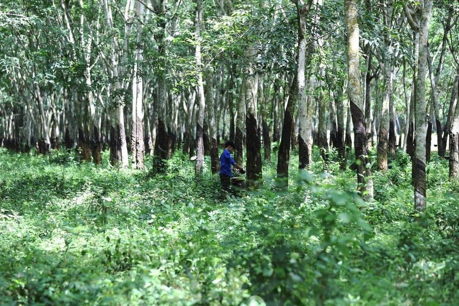 캄보디아 내 고무농장 면적은 40만헥터가 넘는다