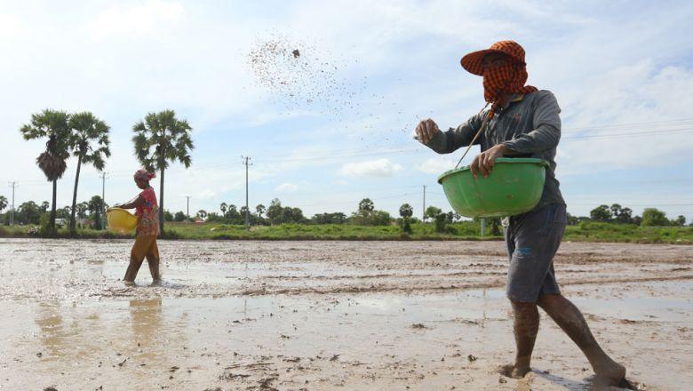 쁘레이벵주 캄보디아 농민들이 벼 파종을 하고 있다