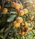 Ripe and fresh Longan hanging on branch, Longan orchard