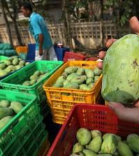 캄보디아 망고는 올해 8월까지 163,828톤을 수출했다.