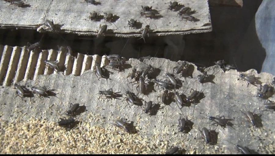 환금성이 좋은 귀뚜라미 양식업이 캄보디아 지방 농민들로부터 인기를 얻고 있다